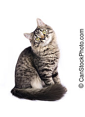 Little tabby grey cat isolated on white