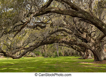 Looking Up Into Live Oak Canopy