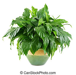 Lush, shiny indoor plant in a nice pot, studio isolated on white background