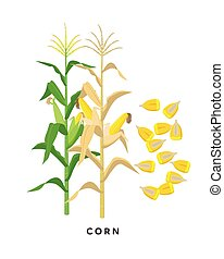 Maize plant and corn cereal grains - vector botanical illustration in flat design isolated on white background