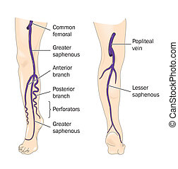 Veins of the leg - labeled