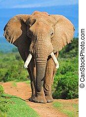 Male African Elephant portrait