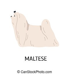 Maltese. Cute lovely small lap dog isolated on white background. Adorable purebred domestic animal or pet of toy breed with white long-haired coat. Colored vector illustration in flat cartoon style.