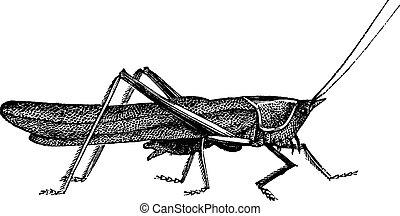 Meadow grasshopper or Chorthippus parallelus, vintage engraving. Old engraved illustration of Meadow grasshopper