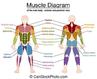 Muscle diagram - most important muscles of an athletic male body - anterior and posterior view - labeled isolated vector illustration on white background.