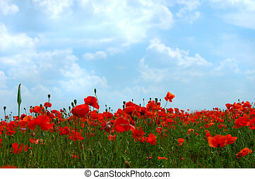 Red poppy flowers colorful summer field under blue cloudy sky close-up background landscape