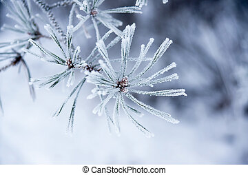 close up of fir needles with frost
