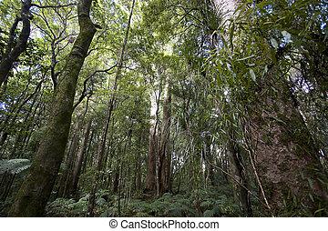 New Zealand - Kauri Forrest