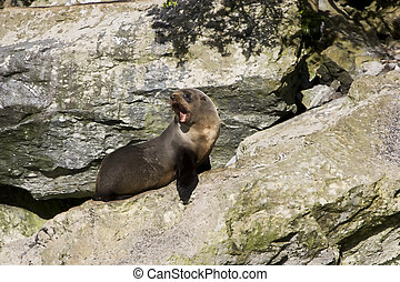 New Zealand - Seal