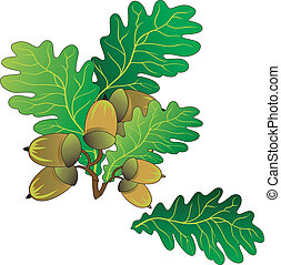 Branch of oak with green leaves and ripe acorns, vector an illustration