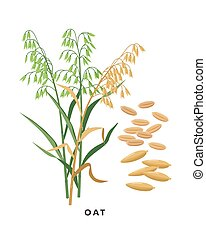 Oat cereal grass and grains - vector botanical illustration in flat design isolated on white background