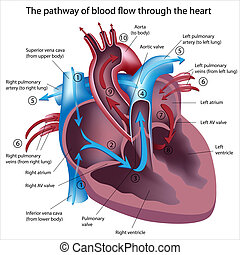 Pathway of blood flow through the heart, eps8