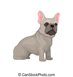 Portrait of sitting french bulldog. Small dog with smooth gray coat, big pink ears and shiny eyes. Flat vector design