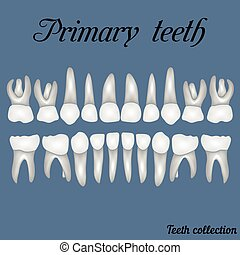 Primary teeth - crown and root , the number of teeth upper and lower jaw done in vector are easy to edit for print or design