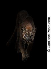 puma in the dark