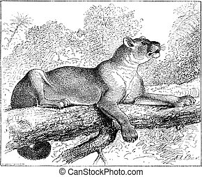 Puma or cougar or mountain lion or catamount or panther or mountain cat, vintage engraved illustration. Dictionary of words and things - Larive and Fleury - 1895.