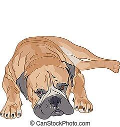 bullmastiff portrait lying