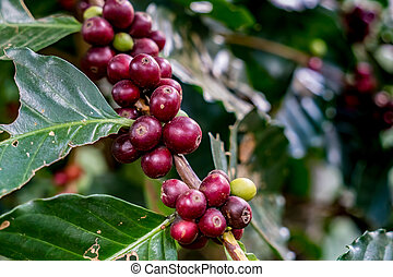 Red arabica coffee bean on branch