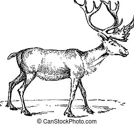 Reindeer, vintage engraved illustration. Dictionary of words and things - Larive and Fleury - 1895.