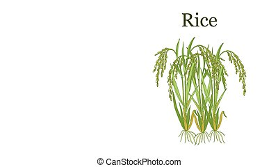 Rice plant. Hand drawn botanical vector illustration