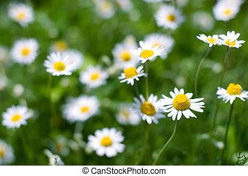 Full bloom of roman chamomile flower in flower garden
