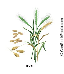 Rye cereal grass and grains - vector botanical illustration in flat design isolated on white background
