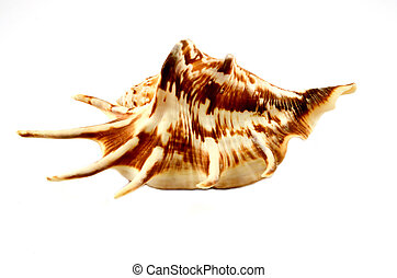 Sea cockleshell