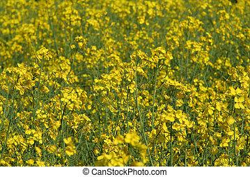 sea of canola flower