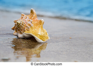 Seashell on sand of the beach in sunlight, background, close up