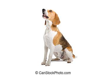 sitting beagle dog isolated on a white background
