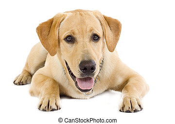 seated Puppy Labrador retriever cream in front of white background