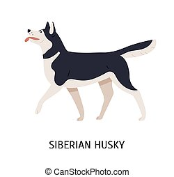 Siberian Husky. Charming playful working or sled dog of northern breed isolated on white background. Adorable purebred domestic animal or pet. Colored vector illustration in flat cartoon style.