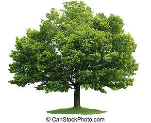 Single maple tree isolated on white background