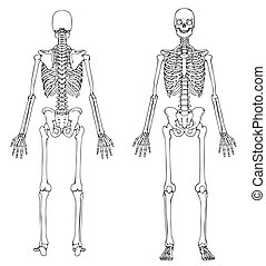 Medically accurate line drawing of a skeleton.