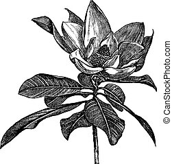 Southern magnolia or Magnolia grandiflora or Bull bay or Laurel magnolia or Evergreen magnolia or Large-flower magnolia or Big laurel, vintage engraving. Old engraved illustration of Southern magnolia flower isolated on a white background.