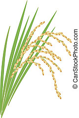 Spikelet of rice with the leaves on a white background. Vector illustration.