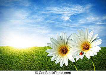 Spring grass field with two daisies and a lady-bug
