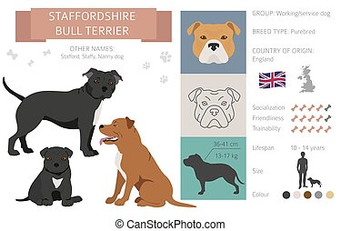 Staffordshire bull terrier dog isolated on white. Characteristic, color varieties, temperament info. Dogs infographic collection