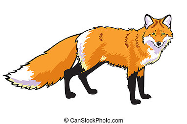 standing red fox isolated on white background