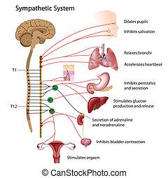 Sympathetic pathways of the autonomic nervous system, eps10