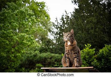 tabby cat outdoors on garden table