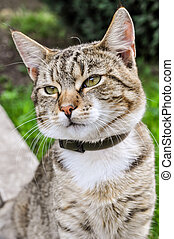 Tabby Cat outside with flea collar in summertime