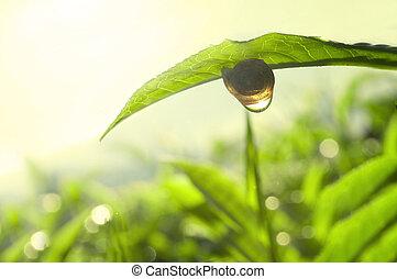 tea nature green concept photo