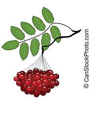 The branch of ripe Rowan
