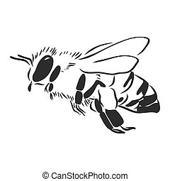 The honey bee on a white background. Isolated. Line graphic art. Insect, animal, nature. Wings.