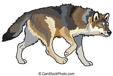 timber wolf, canis lupus, wild animal of eurasian forest, side view, illustration isolated on white background
