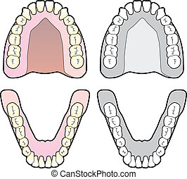 Diagram of the human teeth