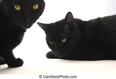 Two black cats isolated on the white bacground, focus on the laying one.