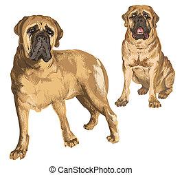 Two images of mastiff