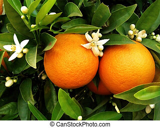 two oranges with blossom flowers hanging on a orange tree...